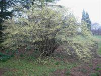 Corylopsis Winterthur (Small)