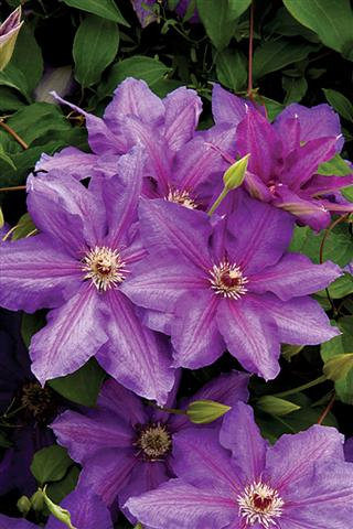 4625 Vancouver Starry Skies Clematis MON (Small)