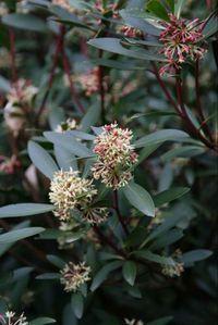 5061 Drimys lanceolata Mountain Pepper