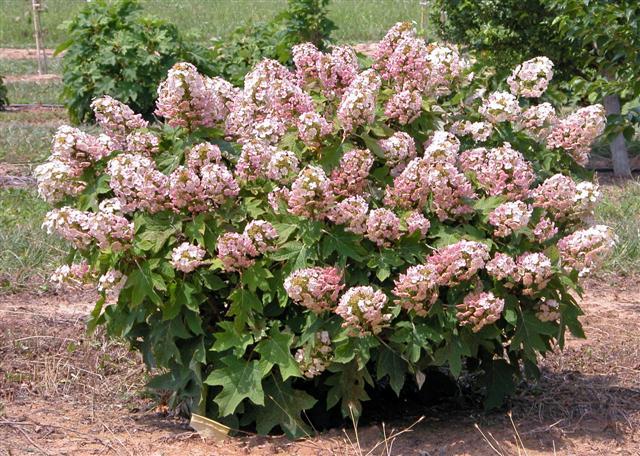 Munchkin plant (Small)