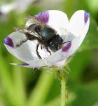 ARS Nemophila maculata