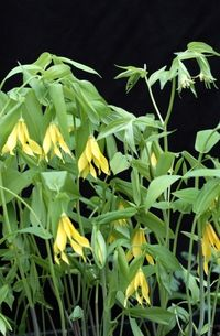 Uvularia-1 sunshine farms