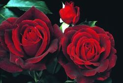 Mr. Lincoln Star Roses