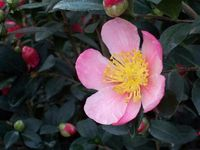 2233_Camellia Yuletide Pink