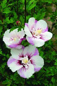 Bailey Hibiscus_syr_FE_Fiji