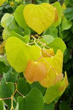 Cercis canadensis The Rising Sun PHS Gold 12