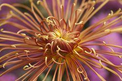ChrysanthemumDescanso-IVO NYBG