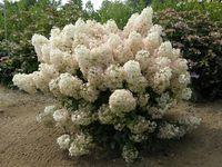 Hydrangea bobo pw