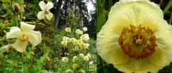 Banner_Poppies