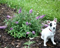 Proven_Winners_Buddleia_Lo_&_Behold_Lilac_Chip