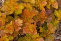 Bailey Physocarpus Amber JUbilee