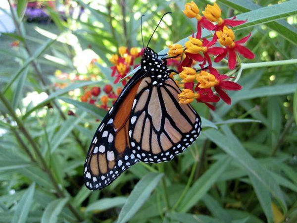 Garden Design: Plant Milkweed! (GardenDesignOnline)