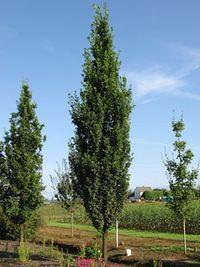 Schmidt Skinny Genes Oak