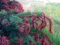 Imprelis Tree Damage