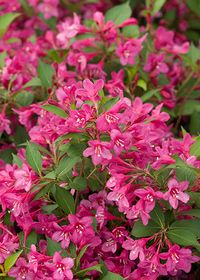 Proven_Winners_Weigela_Sonic_Bloom_Pink_2