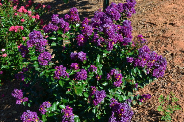 Purple Magic Flower