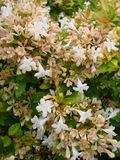 Golden Fleece Abelia