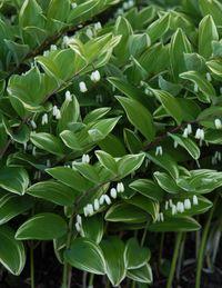 Polygonatum flowers PPA