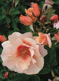 1-Sweet Spot Peach