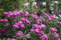 14 Royal-Jubilee---David-Austin-English-Rose