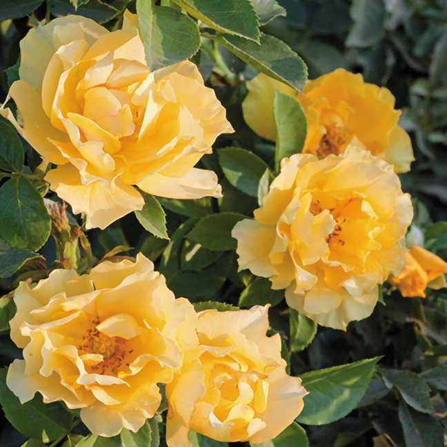 Friends Embrace Floribunda J&P