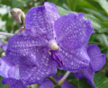 NYBG_vanda_orchid