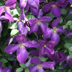 PW happy_jack_purple_clematis-1