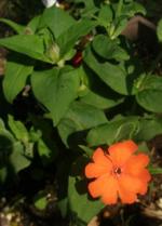 APL-Yamanaka-plants-Figure1