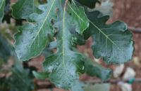-schmidt Quercus Macrocarpa 'JFS-KW3'
