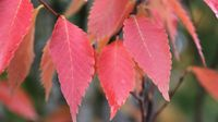 Musashino-Columnar-Zelkova-fall-color-1140x641