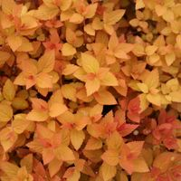 SM Candy Corn TM Spirea