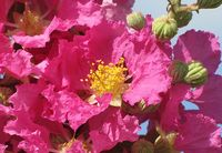 ' Big Pink' Crape Myrtle - Alan Meerow