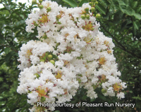 Crape_Myrtle Pleasant Run Nursery