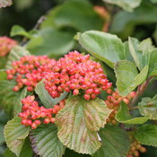 Spg Mead tandoori_orange_viburnum_summer