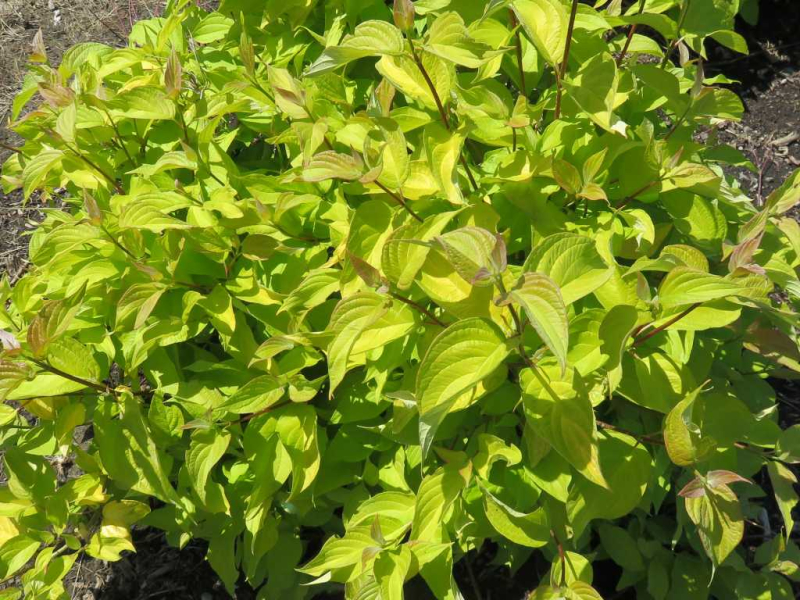 Bailey Neon Burst Dogwood