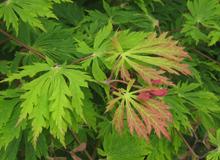 15 PHS Gold A. japonicum 'Aconitifolium'