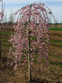 Pink Cascade Cherry  Schmidt