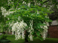 Yellowwood - Urban Tree of Yr