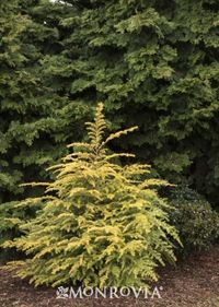 Monrov Golden Duke Hemlock