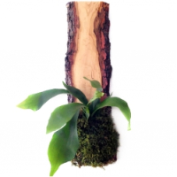 Staghorn fern planter nybg