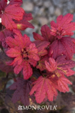 Plum Passion Vine Maple  Mon