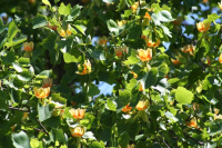 Tuliptree-leaves-and-flowers-Steve-Cothrel SMA