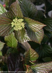 PW shiny_dancer viburnum-1_0
