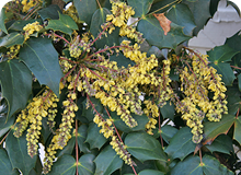 15 PHS Gold Mahonia japonica