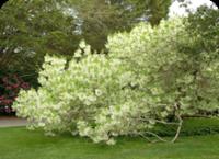 American_fringe_tree PHS gold 14