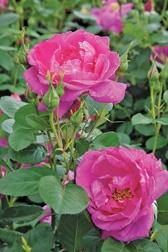 Thomas Affleck Antique rose emp.
