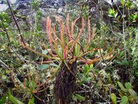 1-1. Drosera magnifica in habitat_5_photo by Paulo Gonella