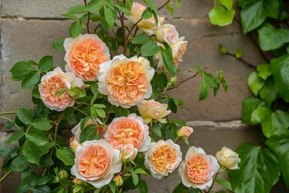 Bathsheba David Austin Roses
