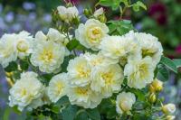 Imogen David Austin Roses