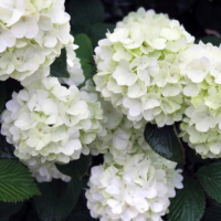 Bailey Opening Day Doublefile Viburnum